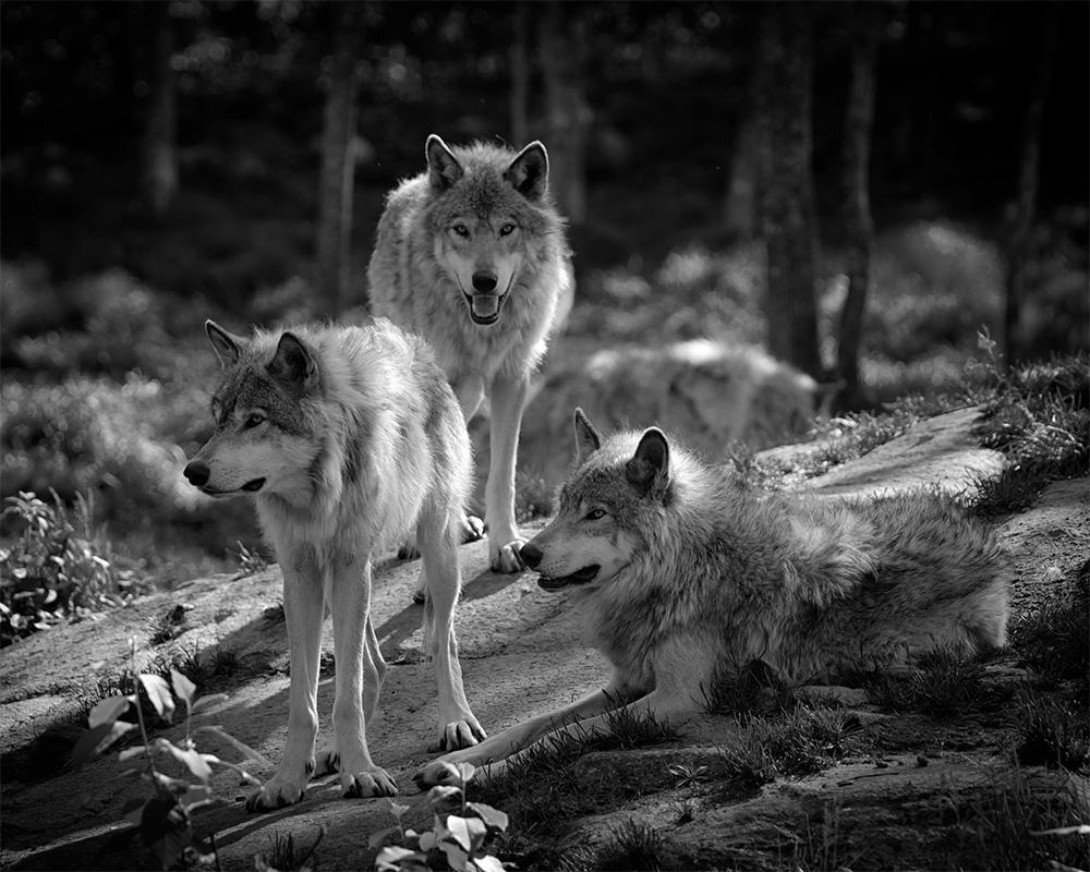 Paquete de lobos de pie en el bosque